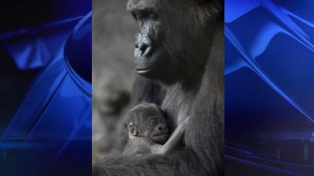 "Disney celebra el nacimiento de la bebé gorila ""Grace"""