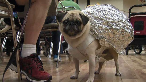Simpáticos perritos desfilan disfrazados por una buena causa