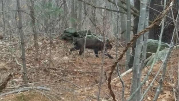 Lince ataca a tres mujeres en Connecticut