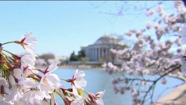 Alerta Verde: Impacto del cambio climático en los Cerezos