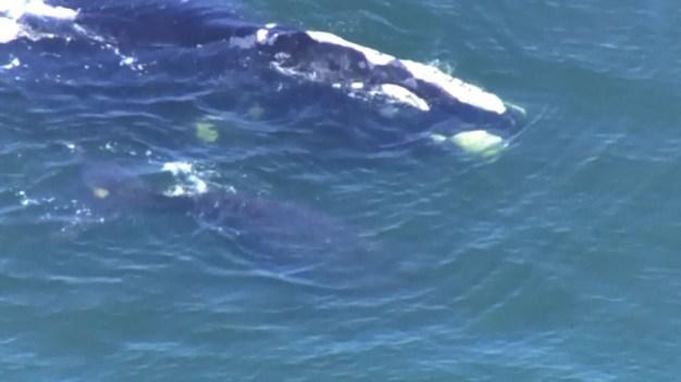 Avistan ballenas en peligro de extinción en Daytona Beach