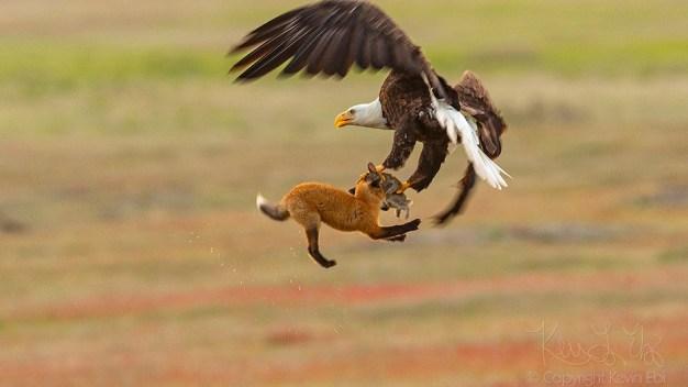 Dramática lucha: águila le roba presa a un zorro y pelean en el aire