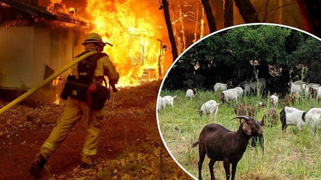 California recurre a método ancestral contra incendios