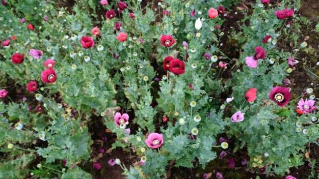 México, segundo mayor productor de opio en el mundo