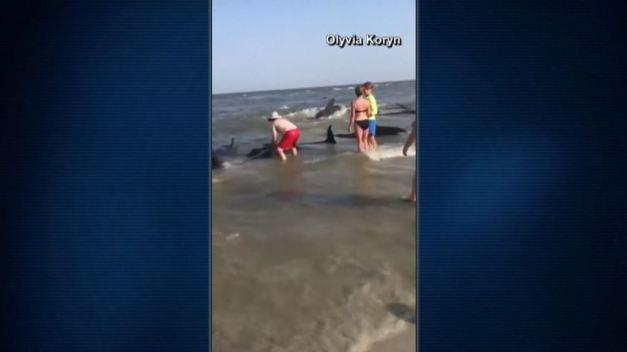 Bañistas luchan por ayudar a ballenas a punto de morir