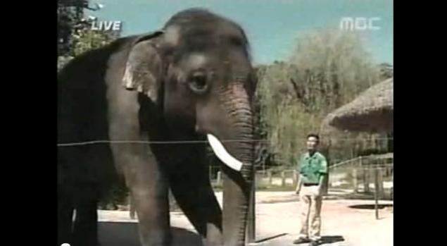 Video: Elefante habla en coreano