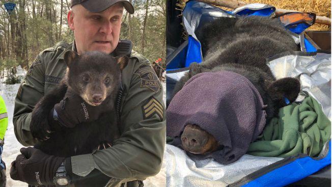 Remueven familia de osos de carretera en Massachusetts