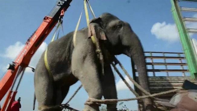 El elefante desterrado tras acusarle de horrendo crimen