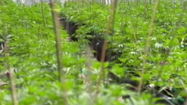 Conceden primer permiso para cultivar marihuana en Massachusetts.