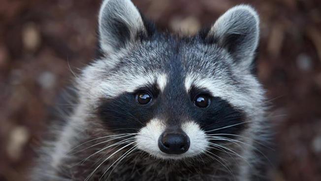 Adolescente es mordido por un mapache con rabia en Polk