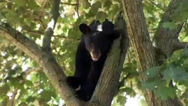 Un oso agrede a hombre que daba de comer a sus gatos