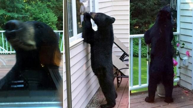 Buscan a oso curioso en Connecticut