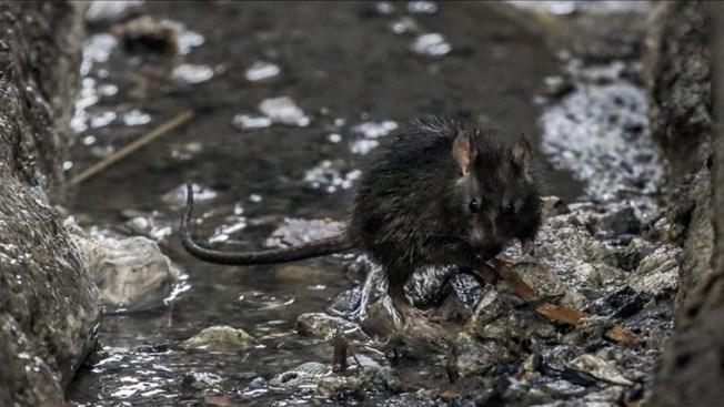Diluvio de quejas por las ratas en Nueva York