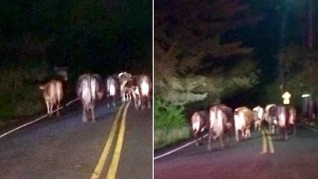Manada de vacas se apodera de una vía en Nueva York