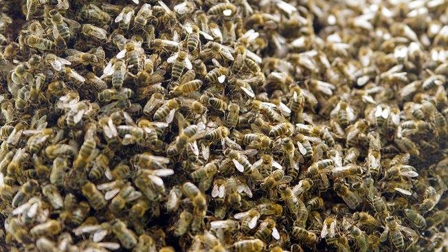 Anciano sufre 2,000 picaduras de abeja