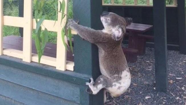 Indagan hallazgo de koala atornillado a poste en Australia