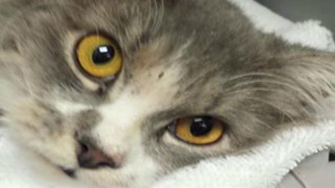 Encuentran gato con sus patas amarradas