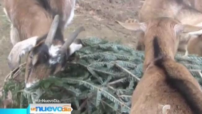 Regala tu árbol de Navidad a un chivo