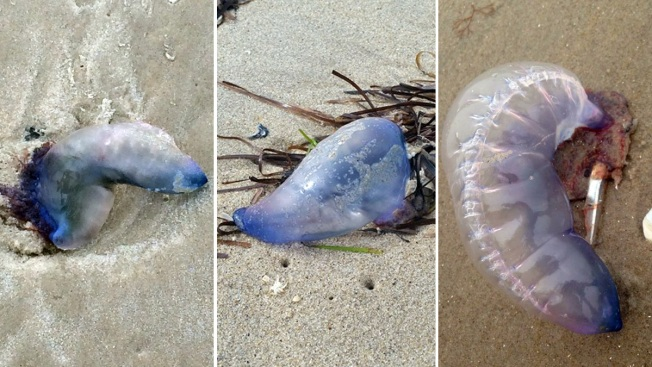 Medusas asesinas atacan en Long Island
