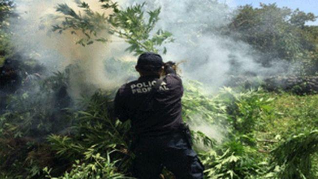 Destruyen plantíos de amapola y marihuana en Durango