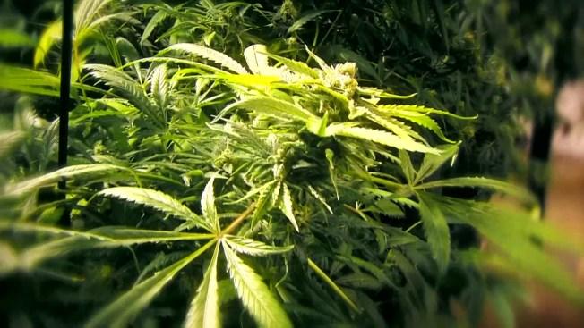 Productos de marihuana en California fallan los exámenes de calidad