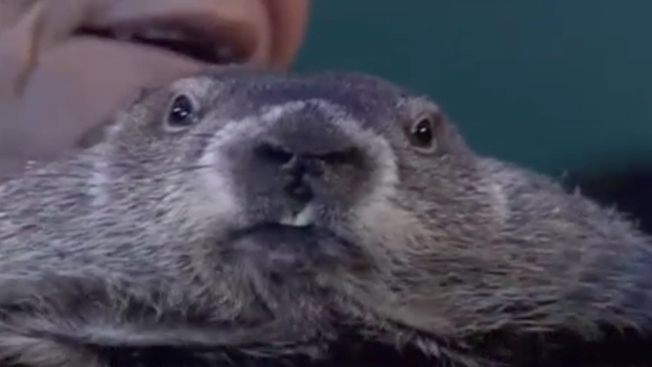 La marmota augura seis semanas más de frío