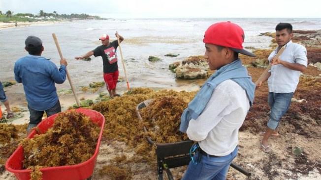 Buscan desviar algas antes de que llegue a las playas