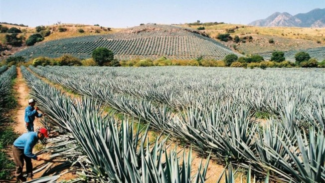 México exportó 213 millones de litros de tequila
