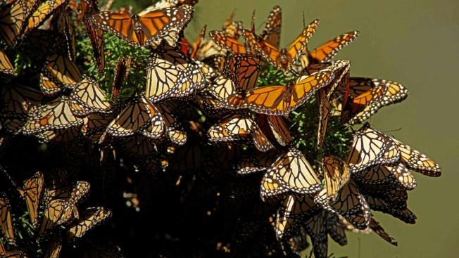 Mariposa monarca llega puntual para hibernar