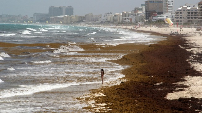Alga flotante amenaza playas Caribe mexicano
