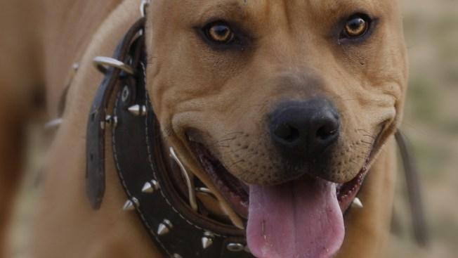 Pit bull ataca a niño de 10 años y a otras 4 personas en NJ