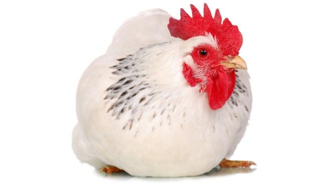 Cecily la gallina recibe pata prostética