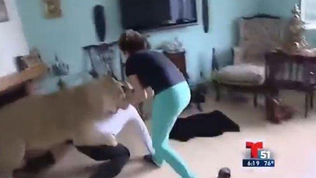 Impacto: feroz leona le clava las garras