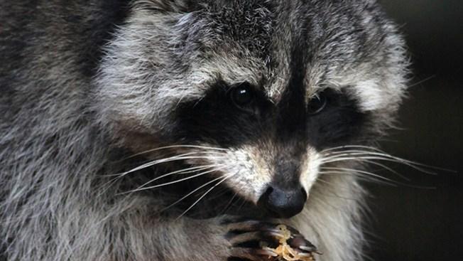Mapache con rabia genera alerta en ciudad de NJ