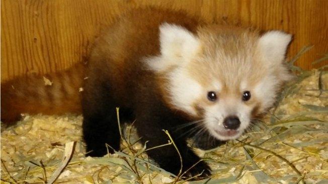 Nace panda rojo en Franklin Park Zoo