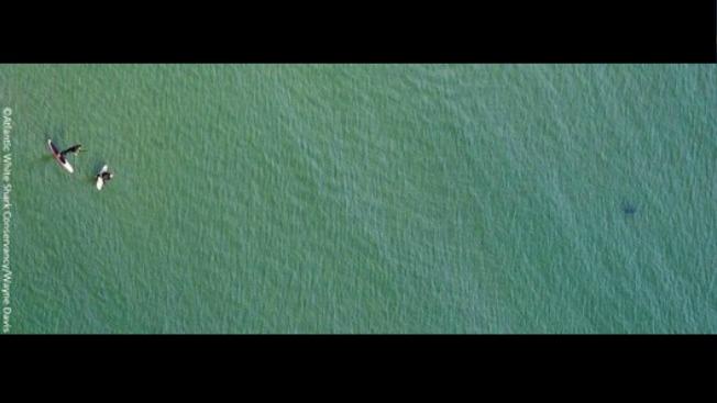 Surfistas asediados por tiburón blanco
