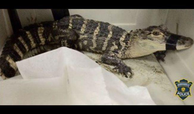 Policía captura caimán en Wareham