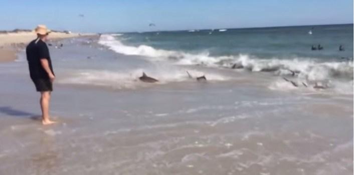 Video: Tiburones se dan festín en plena orilla